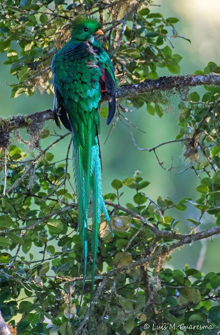 quetzal[1527]
